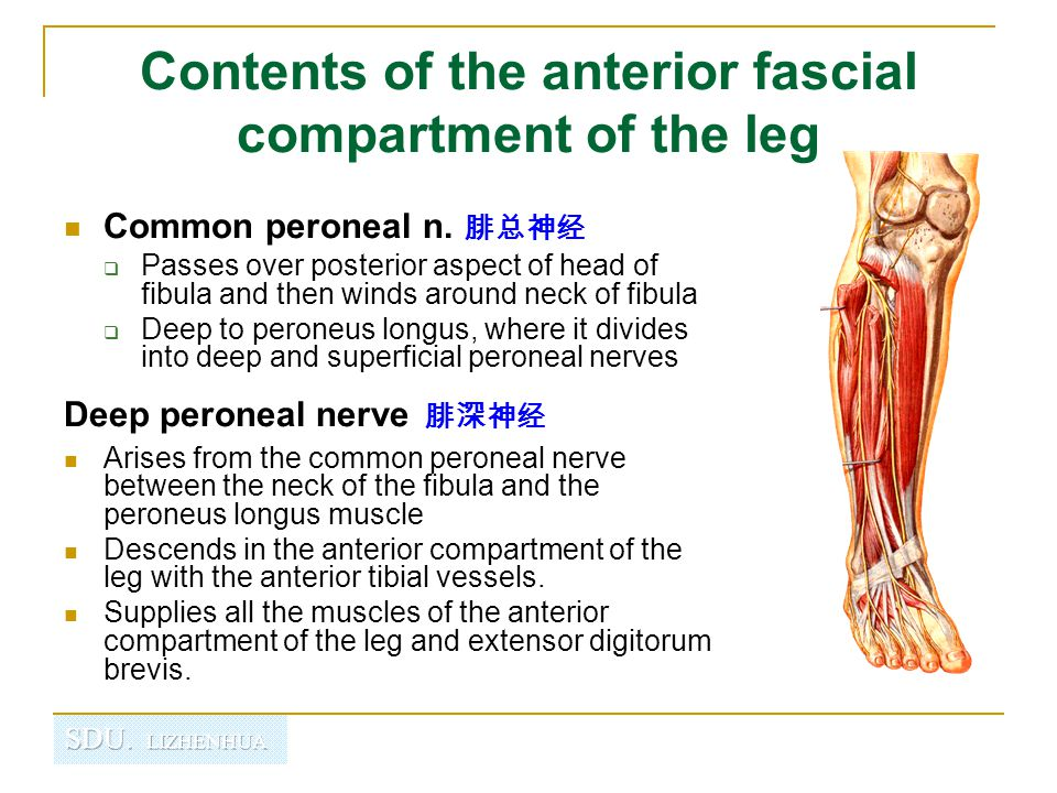 Contents of the anterior fascial compartment of the leg