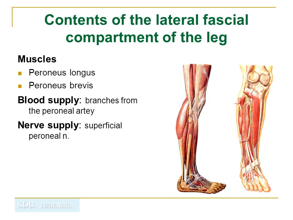Contents of the lateral fascial compartment of the leg