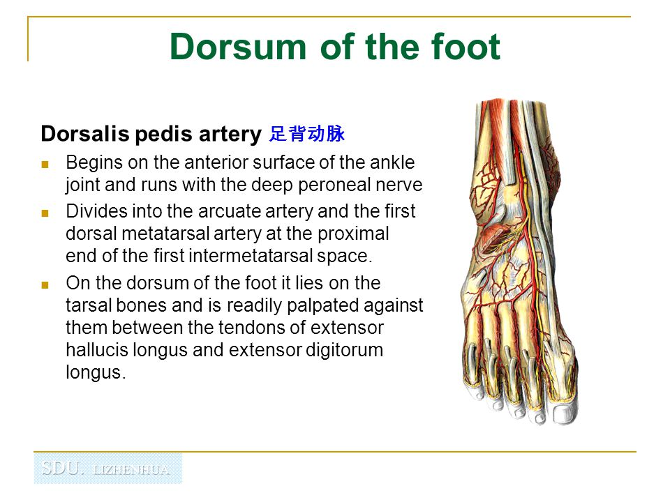Dorsum of the foot Dorsalis pedis artery 足背动脉