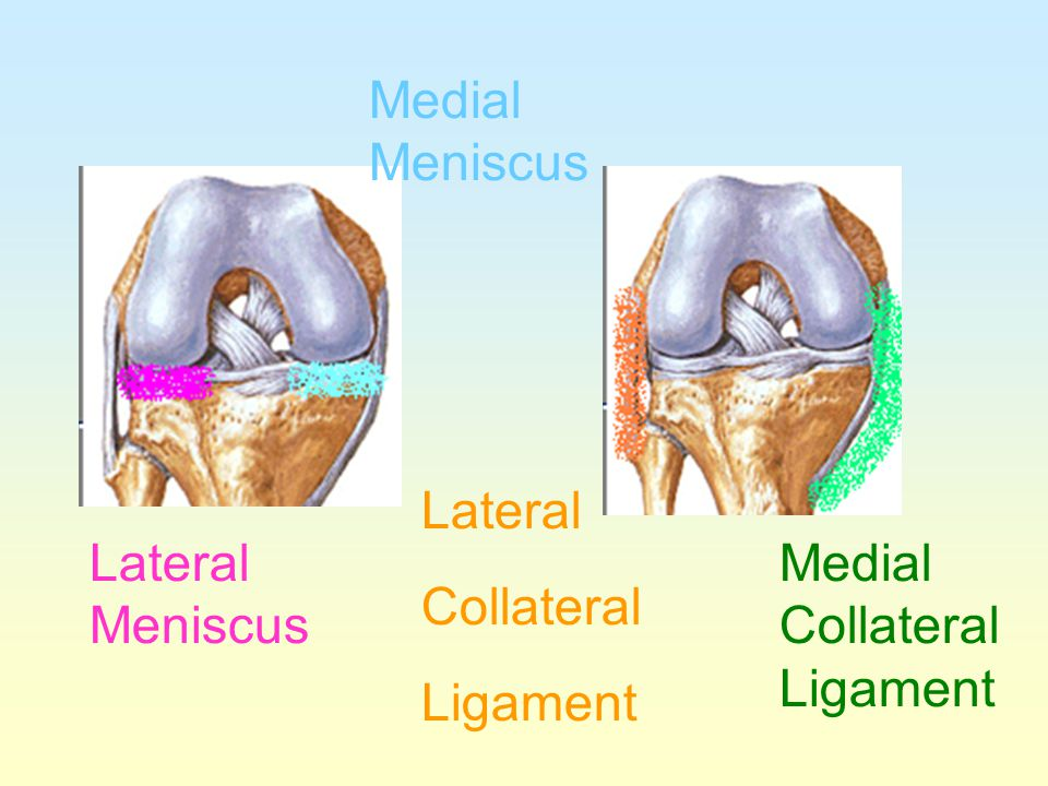 Medial Meniscus Lateral Collateral Ligament Lateral Meniscus Medial Collateral Ligament