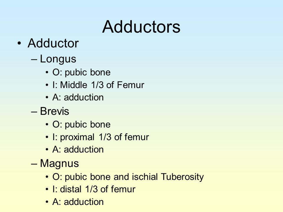 Adductors Adductor Longus Brevis Magnus O: pubic bone