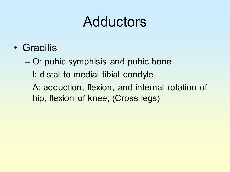 Adductors Gracilis O: pubic symphisis and pubic bone