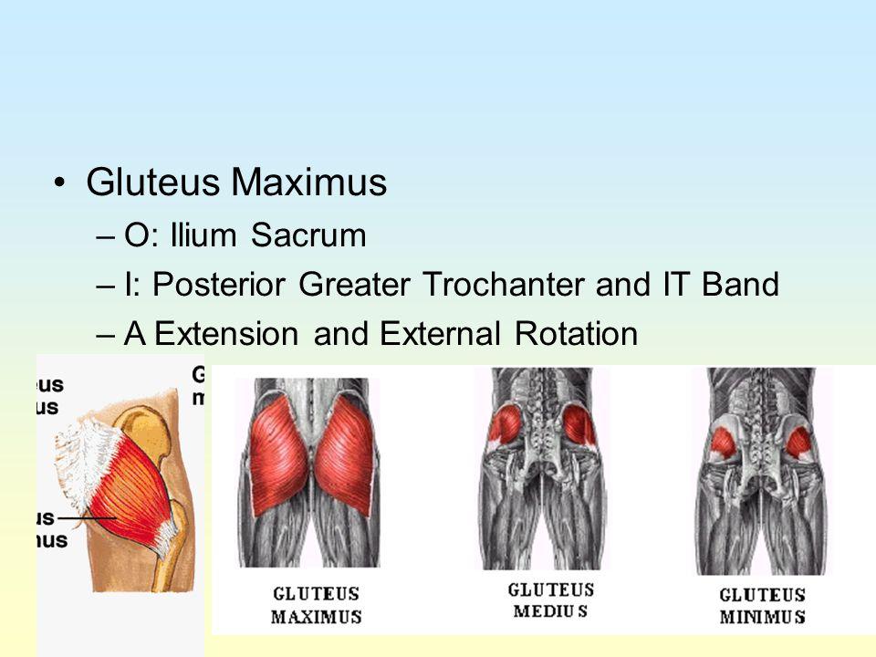 Gluteus Maximus O: Ilium Sacrum