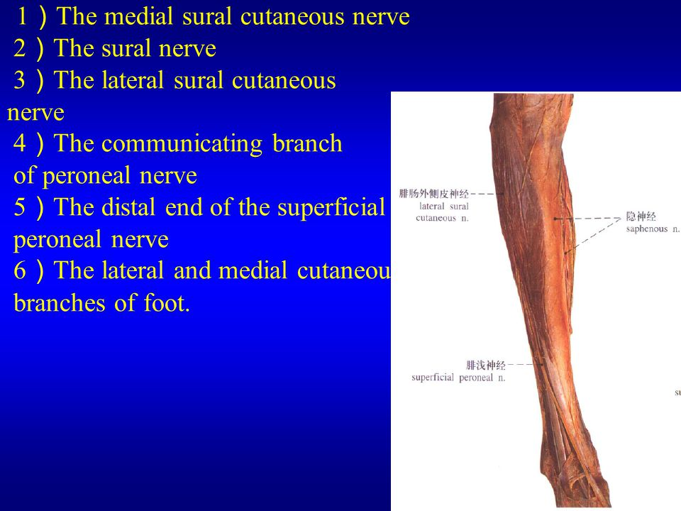 (3) The leg and the dorsum of foot 1)The medial sural cutaneous nerve 2)The sural nerve 3)The lateral sural cutaneous nerve 4)The communicating branch of peroneal nerve 5)The distal end of the superficial peroneal nerve 6)The lateral and medial cutaneous branches of foot.