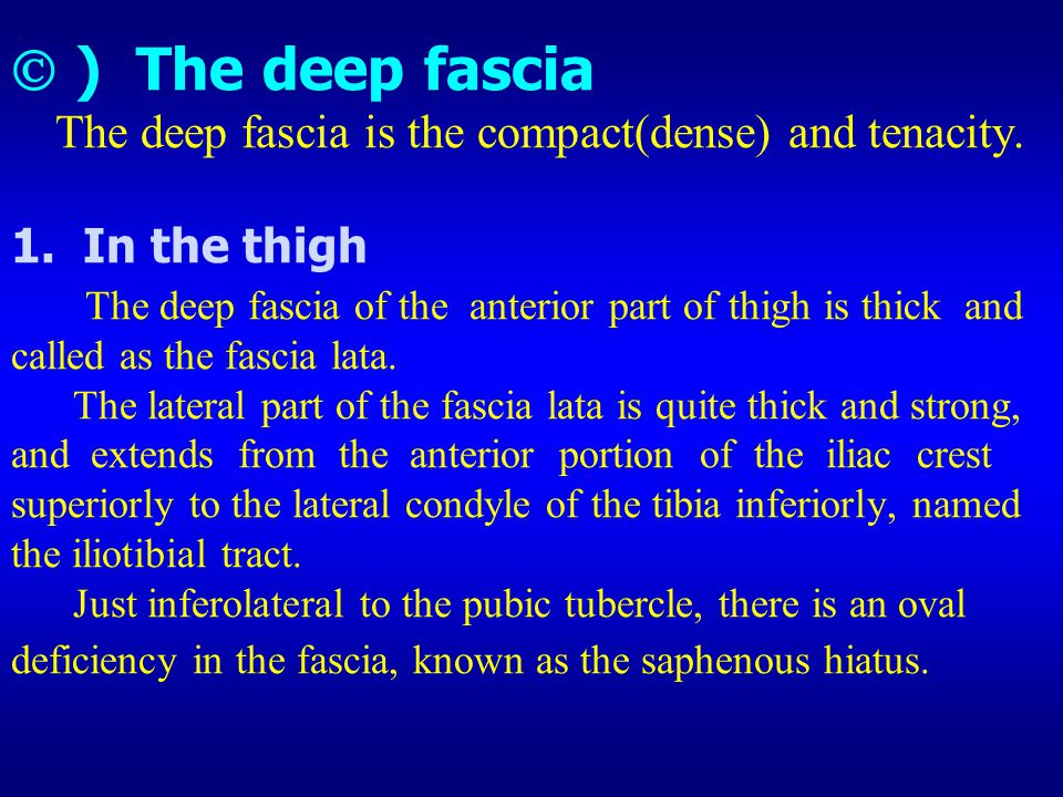  ) The deep fascia The deep fascia is the compact(dense) and tenacity