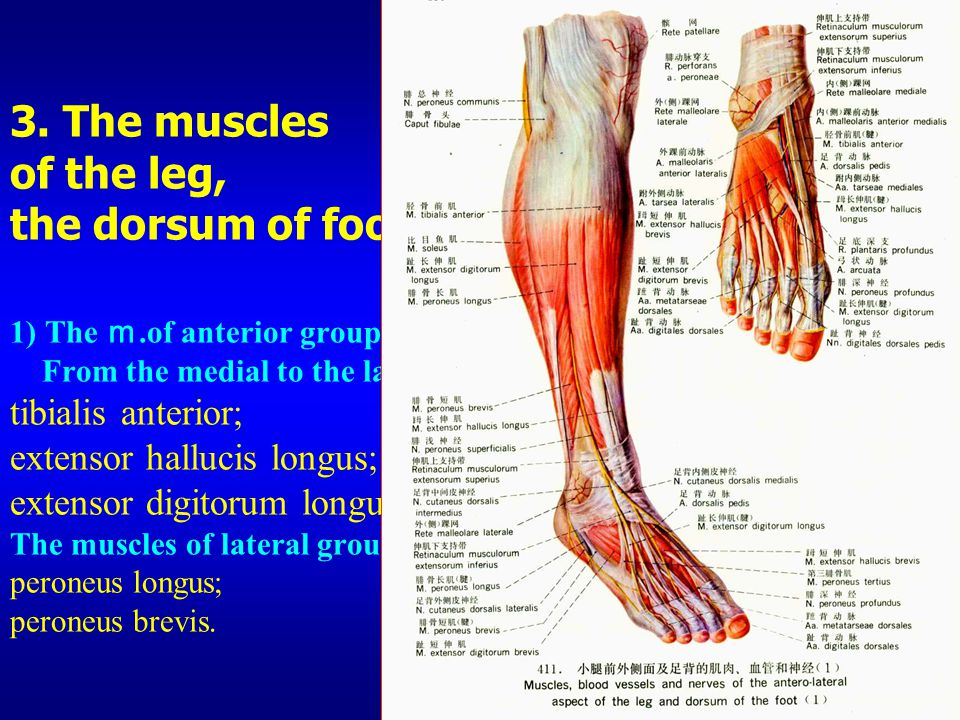 3. The muscles of the leg, the dorsum of foot 1) The m