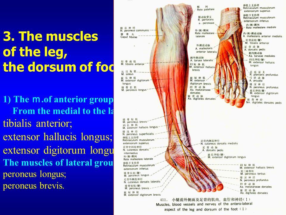 Gracilis Muscle Anatomy