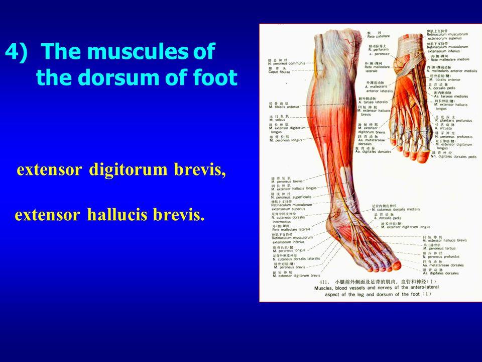 4) The muscules of the dorsum of foot extensor digitorum brevis, extensor hallucis brevis.