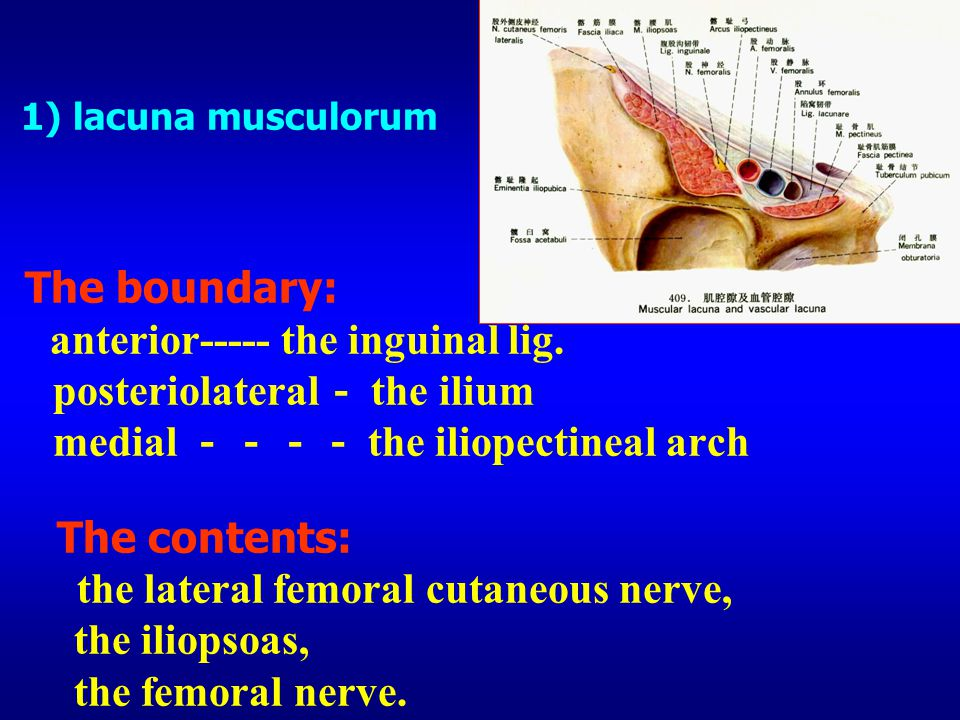 1) lacuna musculorum The boundary: anterior----- the inguinal lig
