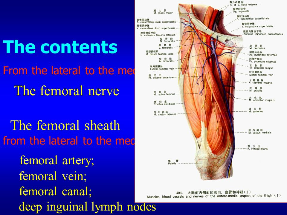 The contents From the lateral to the medial The femoral nerve The femoral sheath: from the lateral to the medial femoral artery; femoral vein; femoral canal; deep inguinal lymph nodes