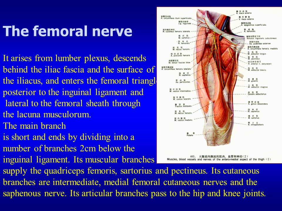 The femoral nerve It arises from lumber plexus, descends behind the iliac fascia and the surface of the iliacus, and enters the femoral triangle posterior to the inguinal ligament and lateral to the femoral sheath through the lacuna musculorum.