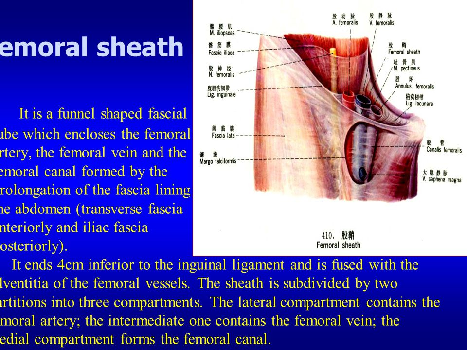femoral sheath It is a funnel shaped fascial tube which encloses the femoral artery, the femoral vein and the femoral canal formed by the prolongation of the fascia lining the abdomen (transverse fascia anteriorly and iliac fascia posteriorly).
