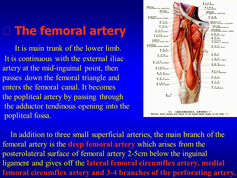 ★ The femoral artery It is main trunk of the lower limb