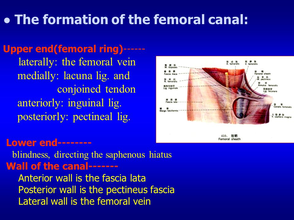 ● The formation of the femoral canal: Upper end(femoral ring)------ laterally: the femoral vein medially: lacuna lig.