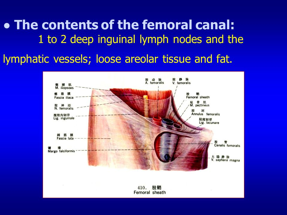 ● The contents of the femoral canal: 1 to 2 deep inguinal lymph nodes and the lymphatic vessels; loose areolar tissue and fat.