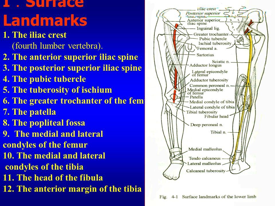 I.Surface Landmarks 1. The iliac crest (fourth lumber vertebra). 2