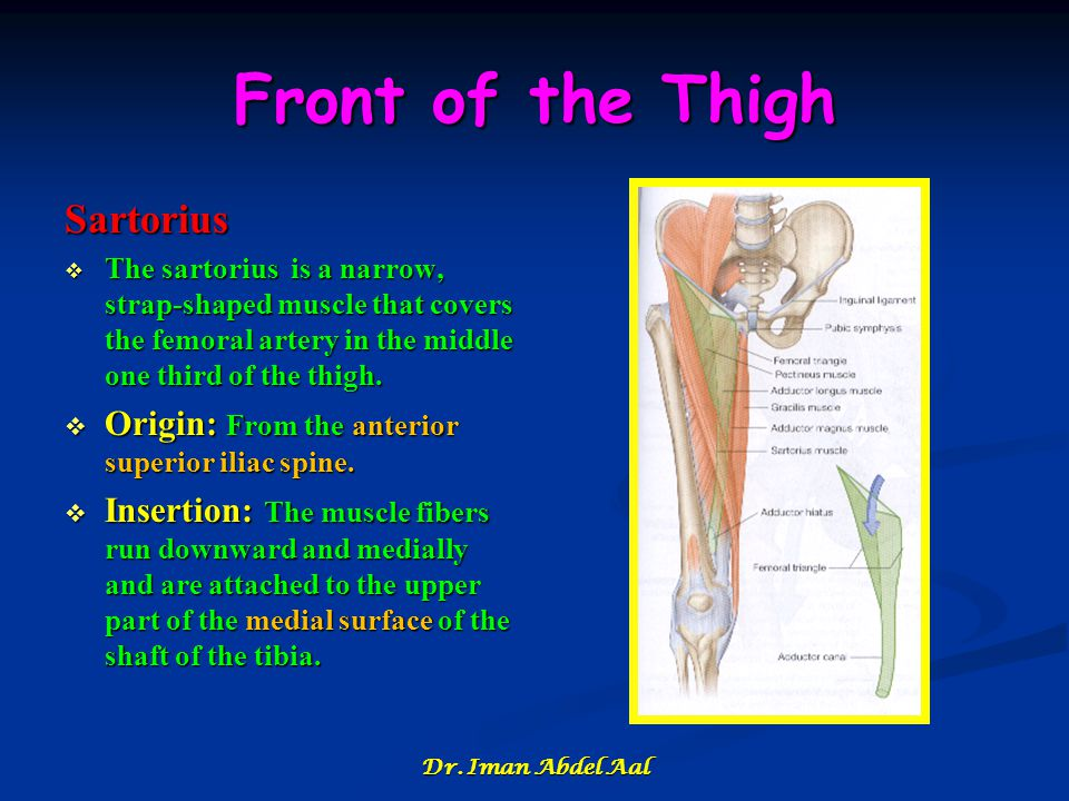 Front of the Thigh Sartorius