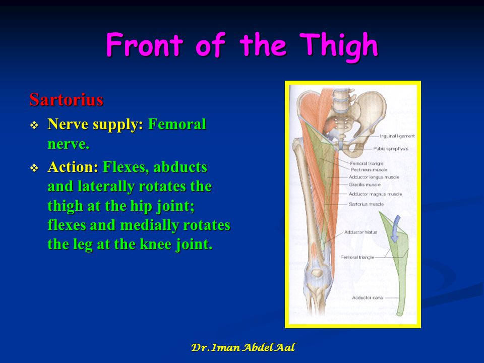 Front of the Thigh Sartorius Nerve supply: Femoral nerve.