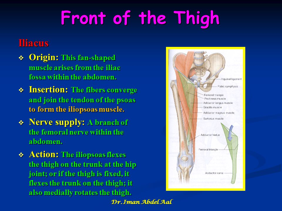 Front of the Thigh Iliacus