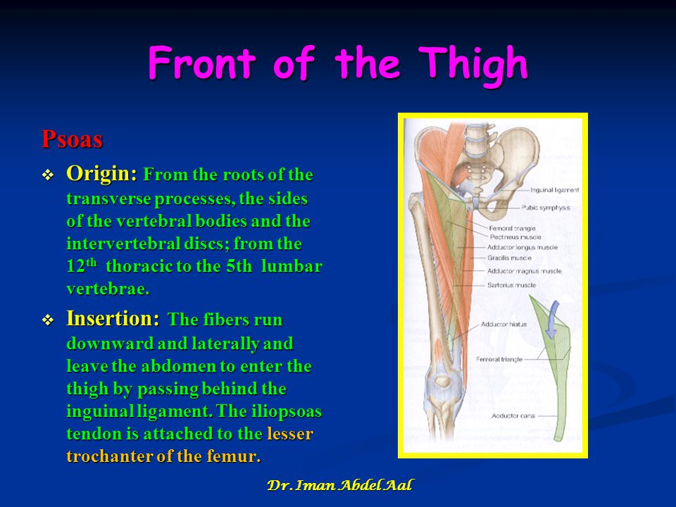 Front of the Thigh Psoas