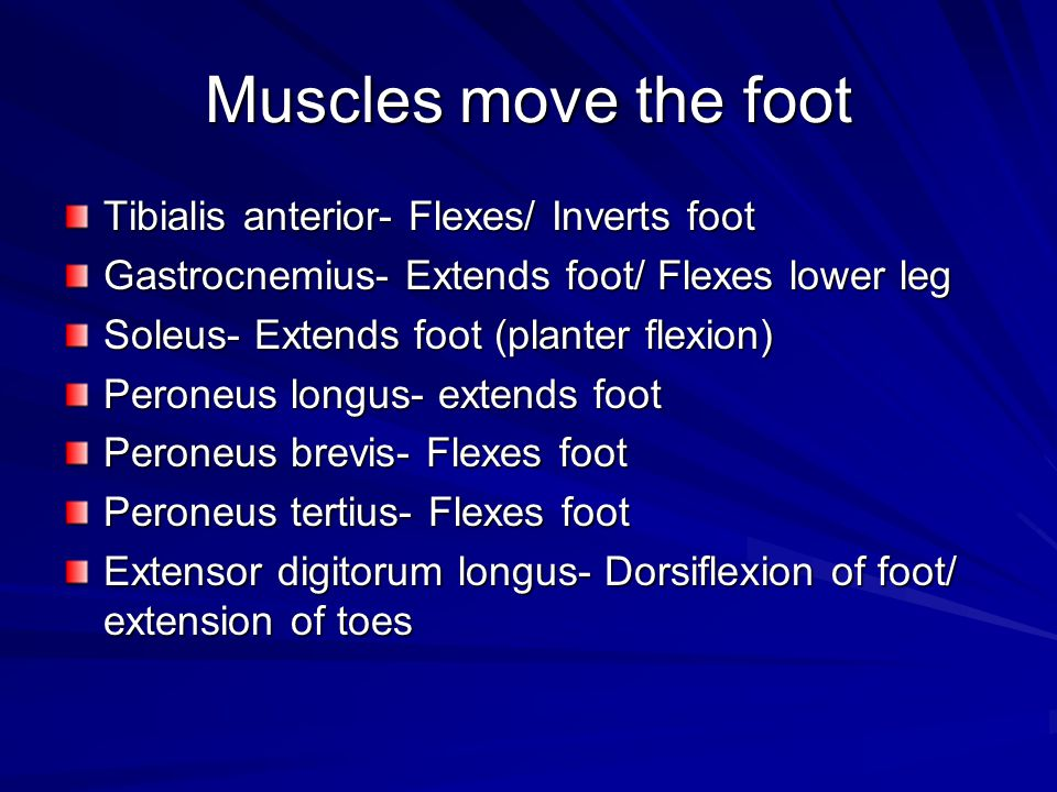 Muscles move the foot Tibialis anterior- Flexes/ Inverts foot
