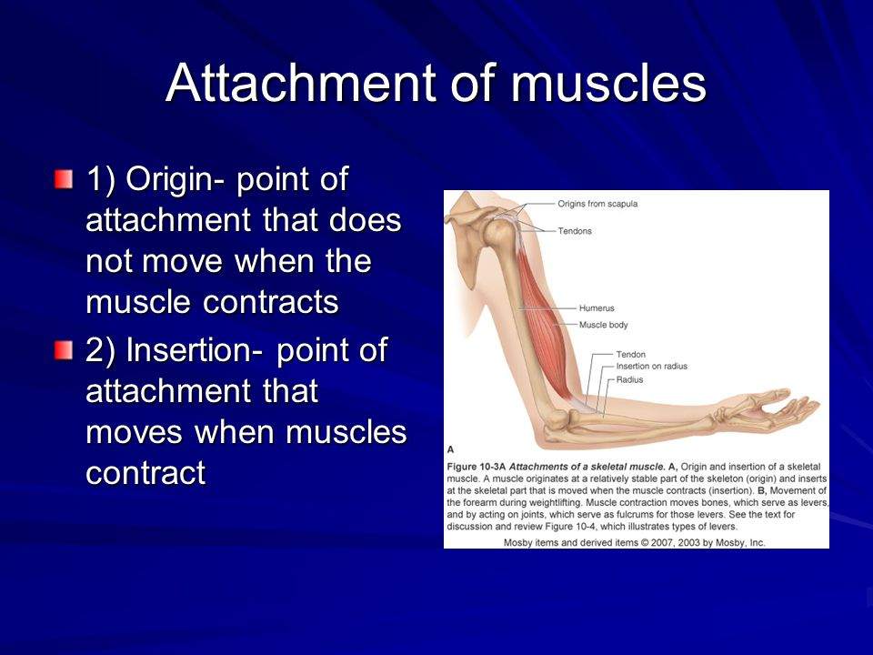 Attachment of muscles 1) Origin- point of attachment that does not move when the muscle contracts.