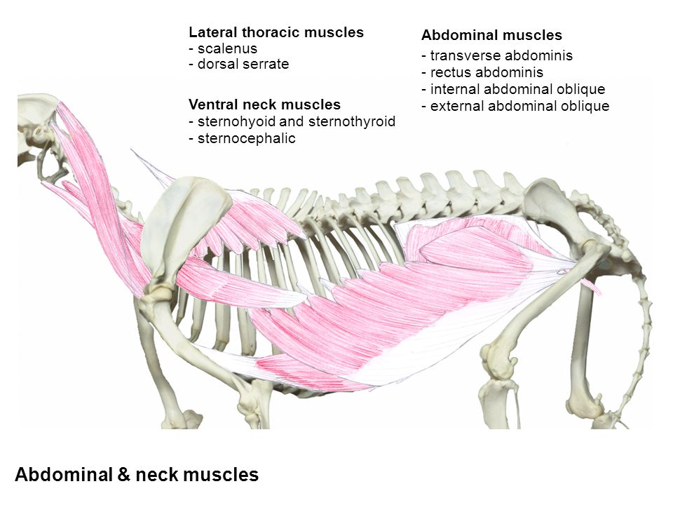 Abdominal & neck muscles