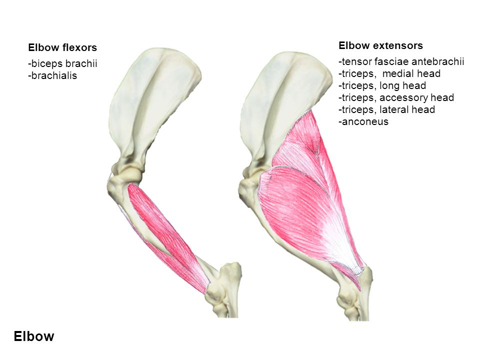 Elbow Elbow extensors Elbow flexors -tensor fasciae antebrachii