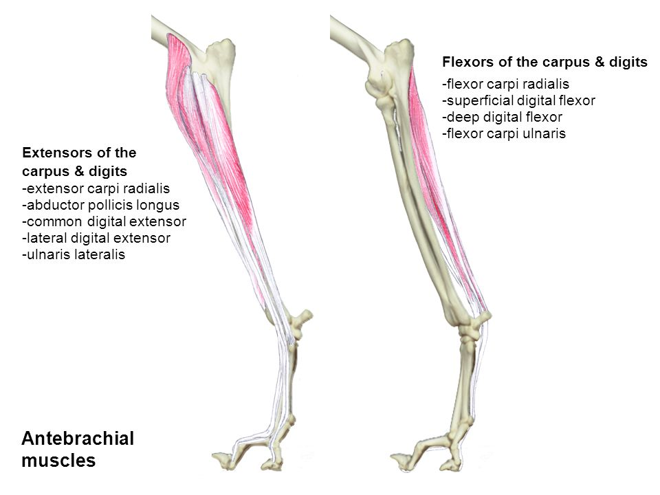 Antebrachial muscles Flexors of the carpus & digits