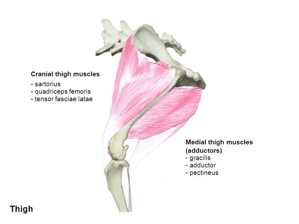 Thigh Cranial thigh muscles - sartorius - quadriceps femoris