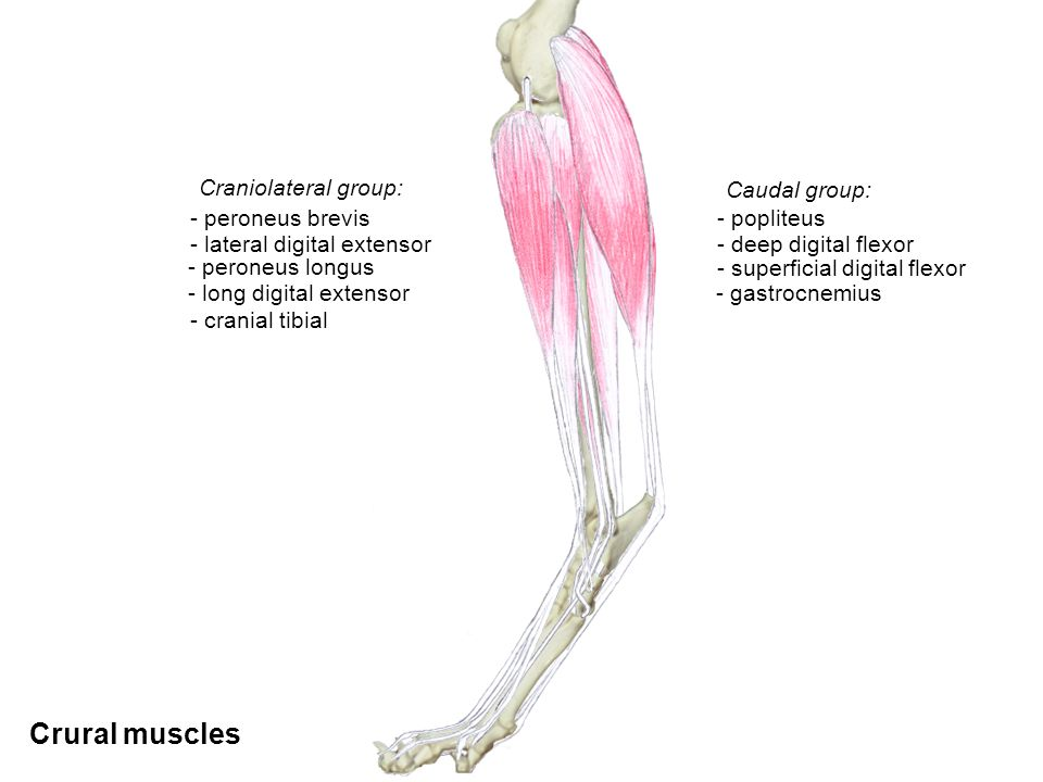 Crural muscles Craniolateral group: Caudal group: - popliteus