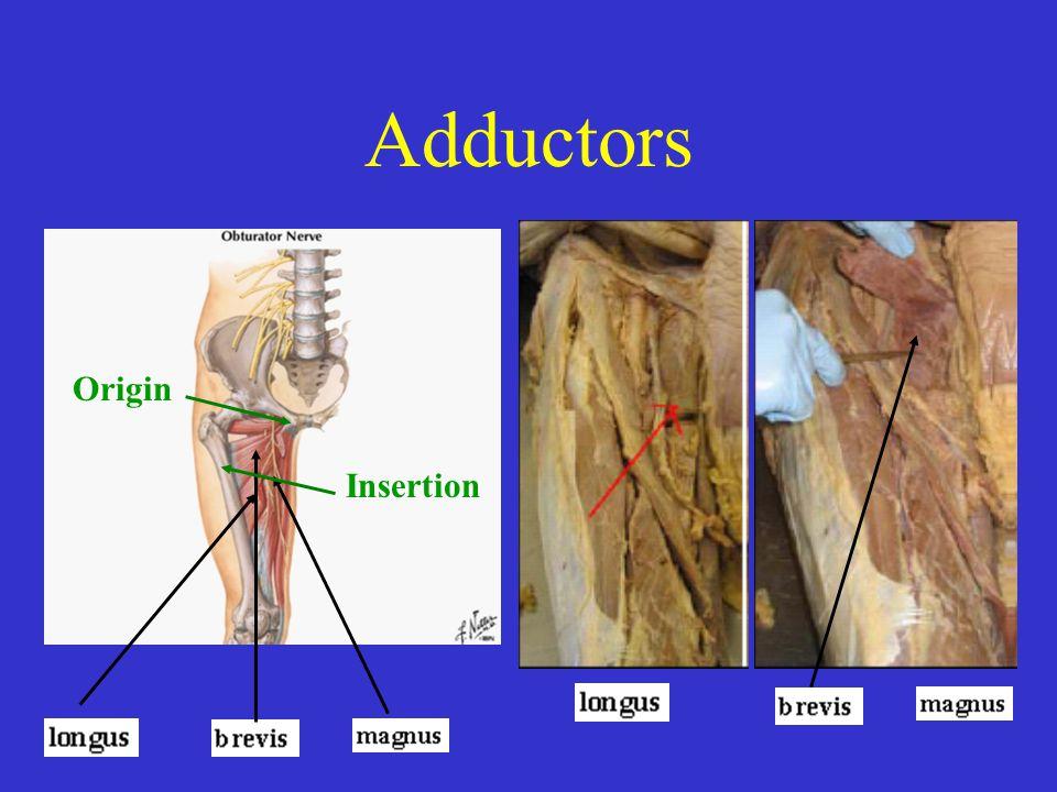 Adductors Origin Insertion Origin Ishial pubic regions of the pelvis