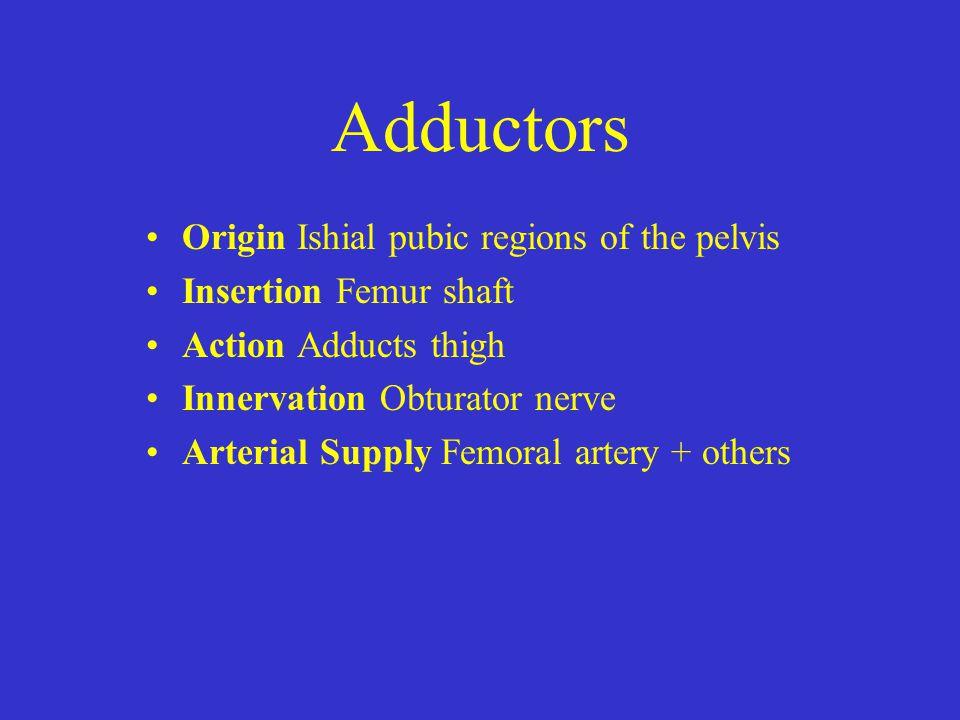 Adductors Origin Ishial pubic regions of the pelvis