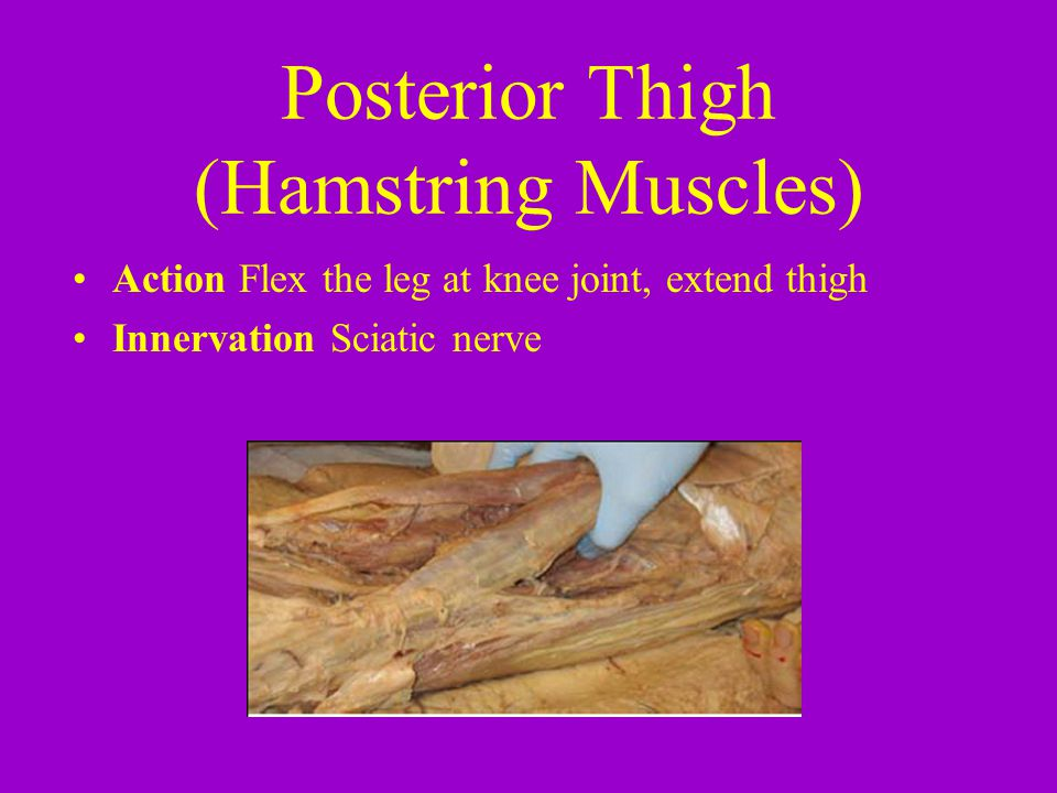 Posterior Thigh (Hamstring Muscles)