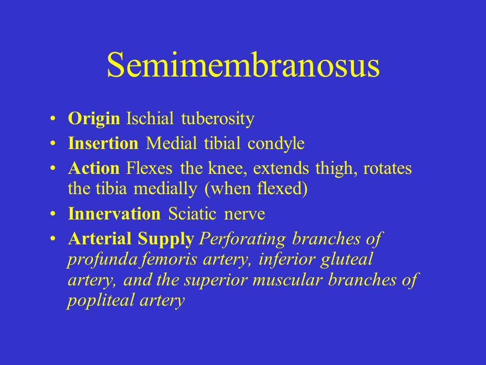 Semimembranosus Origin Ischial tuberosity