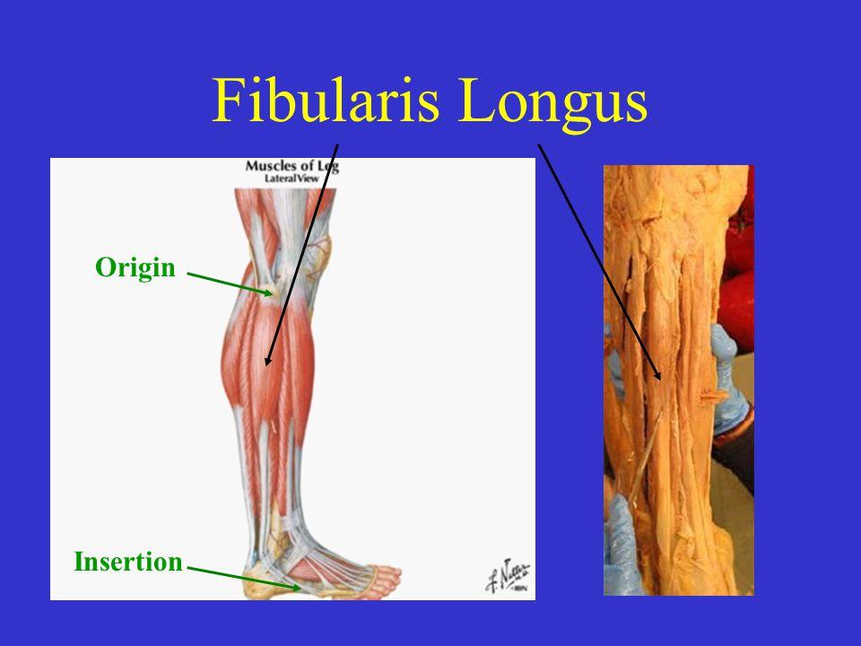 Fibularis Longus Origin Insertion Origin Head of fibula