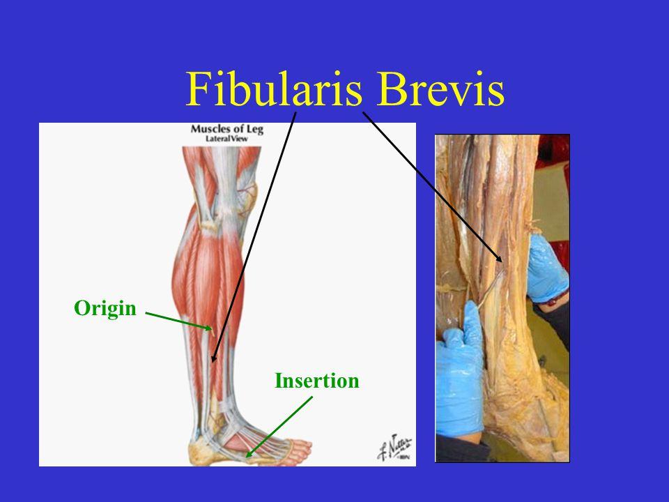 Fibularis Brevis Origin Insertion Origin Fibula