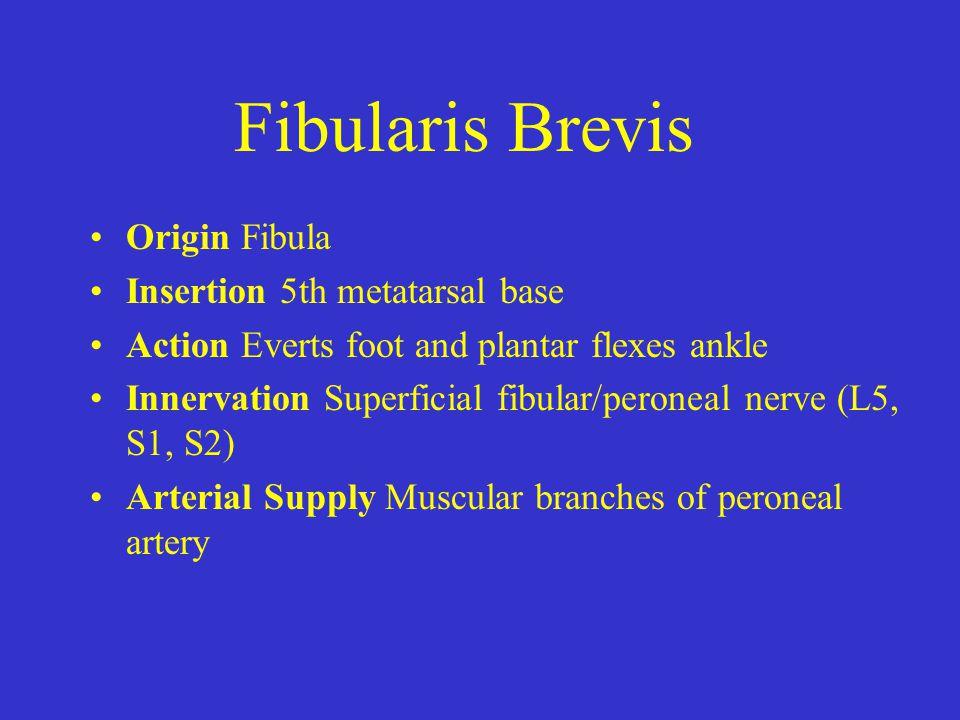 Fibularis Brevis Origin Fibula Insertion 5th metatarsal base