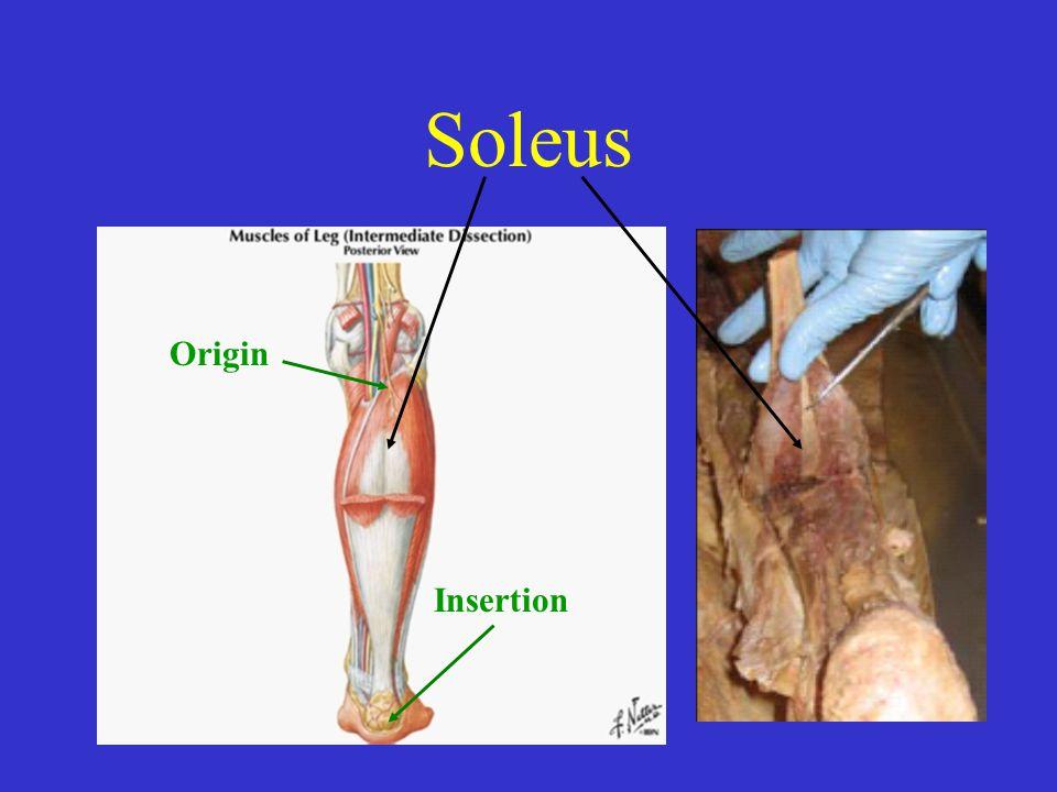 Soleus Origin Insertion Origin Fibula and Tibia