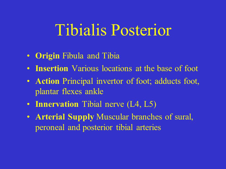 Tibialis Posterior Origin Fibula and Tibia
