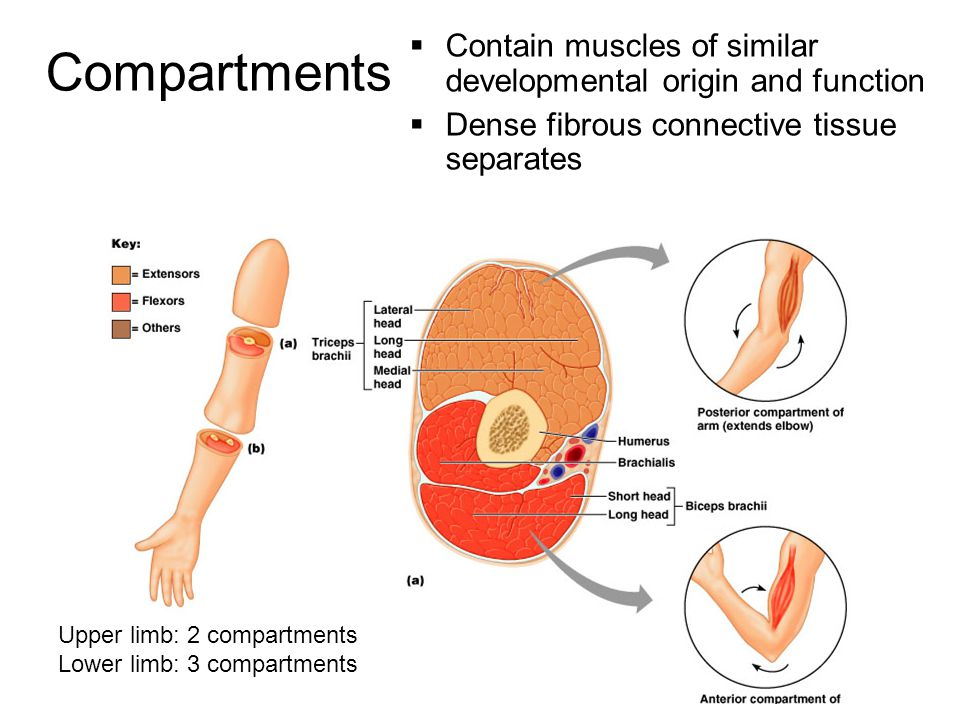 Compartments Contain muscles of similar developmental origin and function. Dense fibrous connective tissue separates.