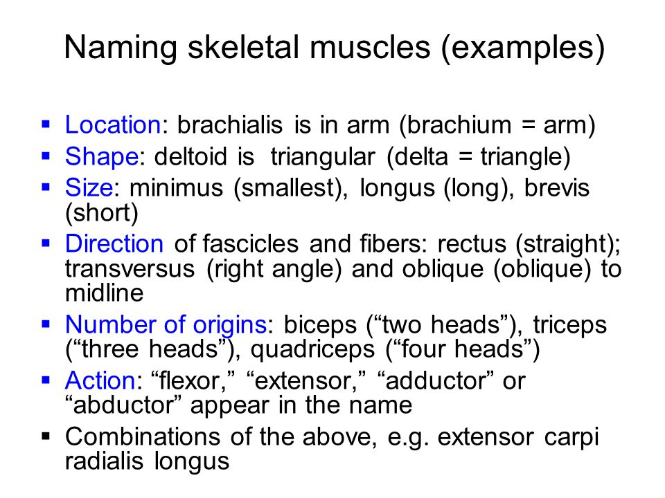 Naming skeletal muscles (examples)
