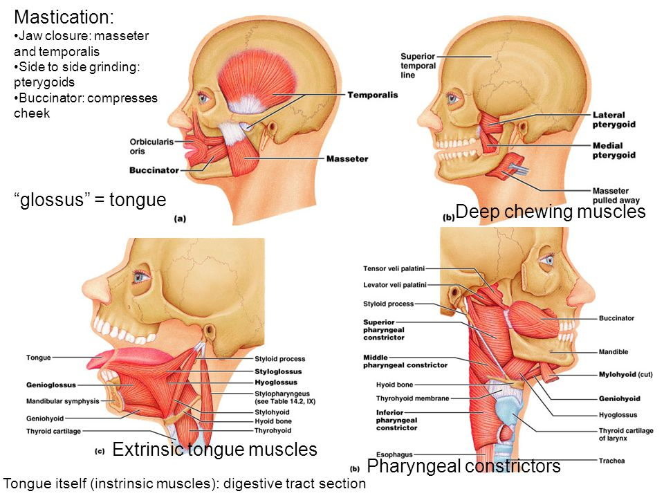 Extrinsic tongue muscles Pharyngeal constrictors