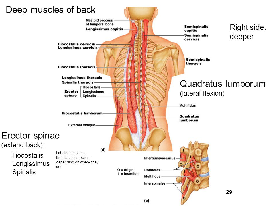 Deep muscles of back Quadratus lumborum Erector spinae