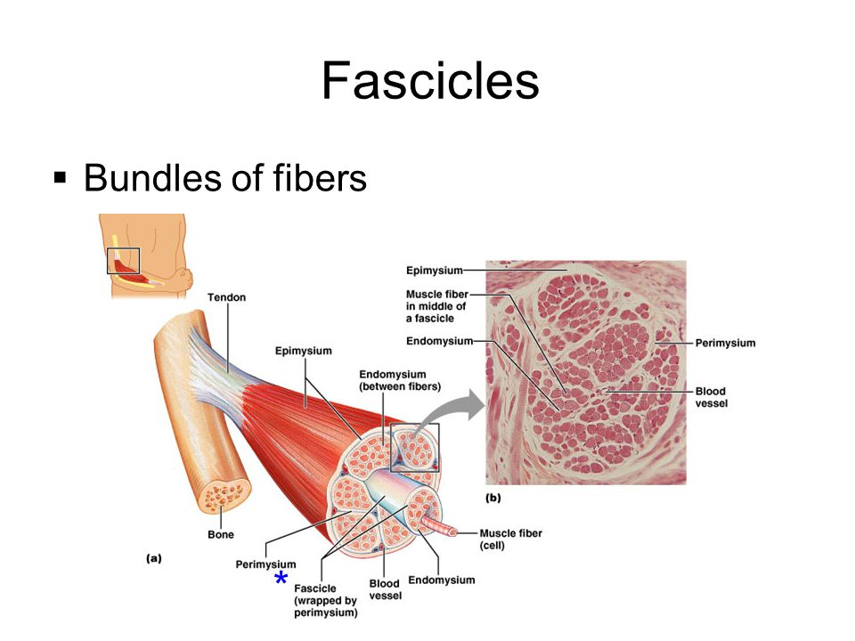 Fascicles Bundles of fibers *