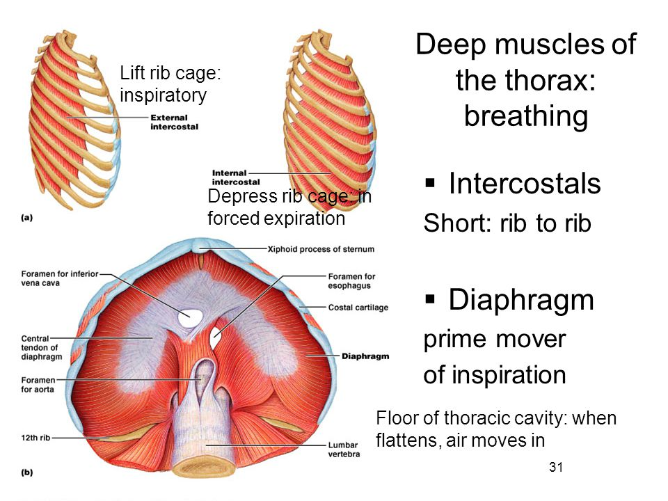 Deep muscles of the thorax: breathing