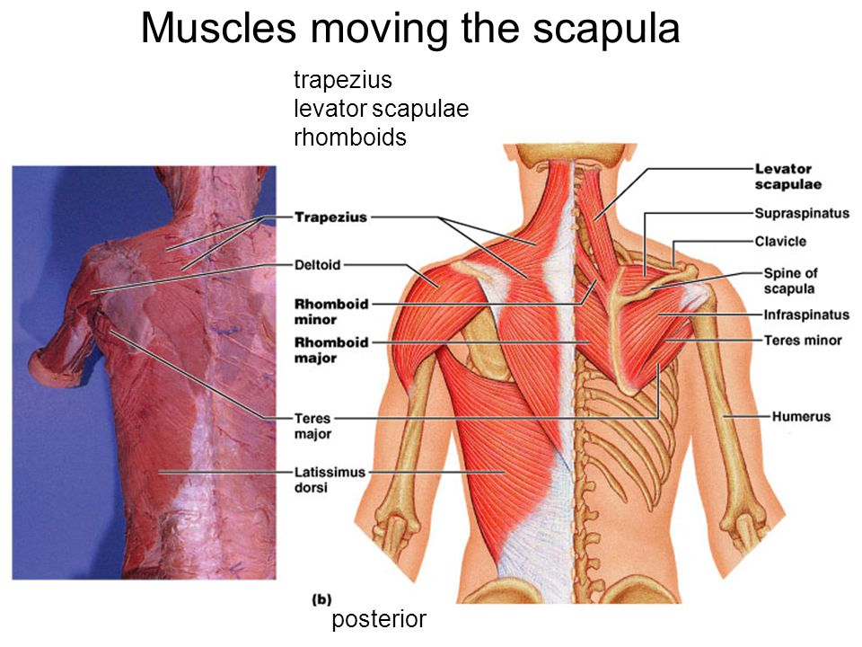 Muscles moving the scapula