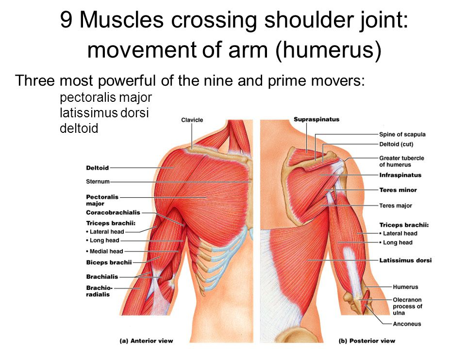 9 Muscles crossing shoulder joint: movement of arm (humerus)