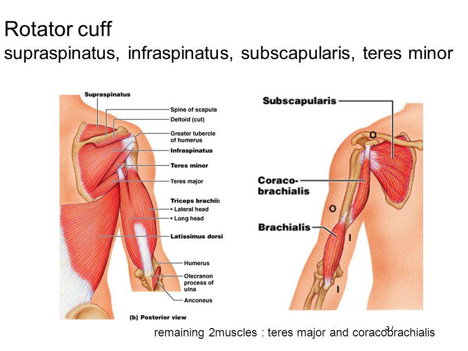 Rotator cuff supraspinatus, infraspinatus, subscapularis, teres minor