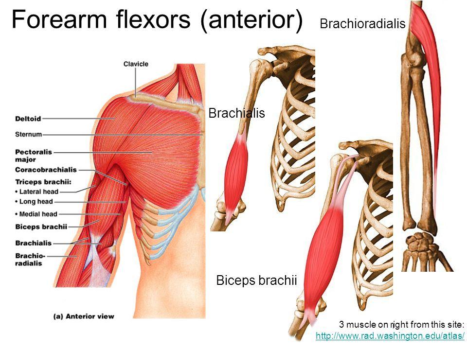 Forearm flexors (anterior)